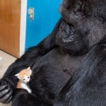 Koko the Gorilla and a Kitten