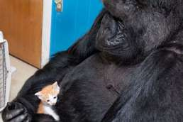Photo of gorilla holding small kitten gently