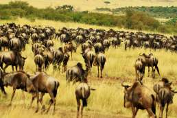Herd of wildebeest in the plains
