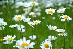 Yellow and white daisies in a field