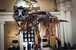 T-Rex skeleton displayed in a museum