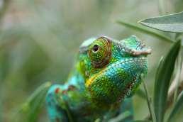 green chameleon in grass